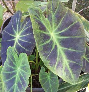 Taioba-brava (Colocasia antiquorum Schott)